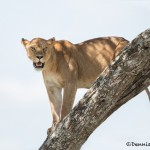 4915 Lioness, Serengeti, Tanzania