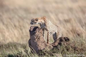 4916 Cheetah, Serengeti, Tanzania