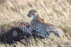 4917 Cheetah, Serengeti, Tanzania