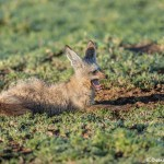 4918 Bat-eared Fox (Otocyon megalotis), Tanzania