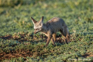 4919 Bat-eared Fox (Otocyon megalotis), Tanzania