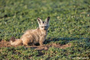 4920 Bat-eared Fox (Otocyon megalotis), Tanzania