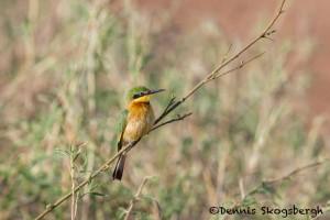 4921 Cinnamon-chested Bee-eater (Merops oreobates), Serengeti, Tanzania