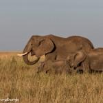 4922 African Elephants, Serengeti, Tanzania