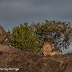 4923 Sunset, Male Lion, Serengeti, Tanzania