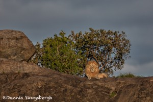 4923 Sunset, Male Lion, Serengeti, Tanzania