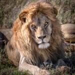 4924 Male Lion, Serengeti, Tanzania