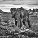 4926 African Elephant, Serengeti, Tanzania