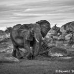 4928 African Elephant, Serengeti, Tanzania