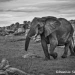 4927 African Elephant, Serengeti, Tanzania