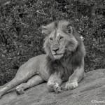 4929 Male Lion, Serengeti, Tanzania