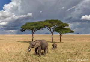 4930 African Elephants, Serengeti, Tanzania