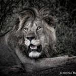 4933 Male Lion, Tanzania