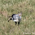 4935 Secretarybird (Sagittarius serpentarius) Eating Locust, Tanzania