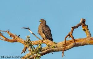 4936 Tawny Eagle (Aquila rapax), Tanzania