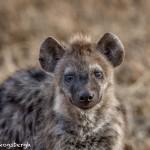 4937 Young Spotted Hyena, Ngorongoro Crater, Tanzania
