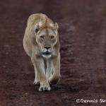 4938 Lioness, Ngorongoro Crater, Tanzania