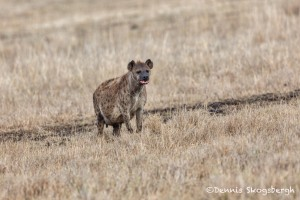 4940 Pregnant Female Hyena, Ngorongoro Crater, Tanzania