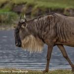 4941 Wildebeest, Ngorongoro Crater, Tanzania