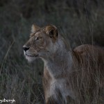 4944 Lioness Hunting at Dusk, Serengeti, Tanzania