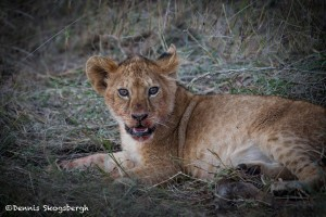 4945 Lion Cub After Wildebeest Meal, Tanzania