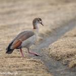 4948 Egyptian Goose (Alopochen aegyptiacus), Tanzania