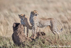 4949 Cheetahs, Serengeti, Tanzania