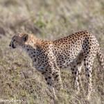 4950 Cheetah, Serengeti, Tanzania