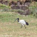 4951 African Sacred Ibis (Threskiornis aethiopicus), Ngorongoro Crater, Tanzania