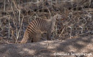 4953 Banded Mongoose (Mungos mungo), Serengeti, Tanzania