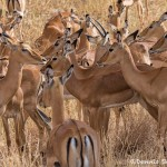 4954 Impala (Aepyceros melampus), Serengeti, Tanzania