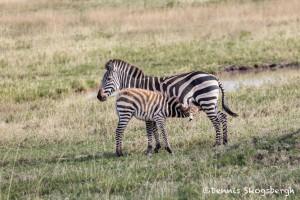 4955 Zebras, Serengeti, Tanzania
