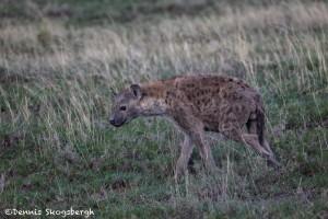 4956 Spotted Hyena, Serengeti, Tanzania