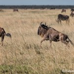 4957 Wildebeests on the Serengeti, Tanzania