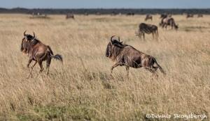 4957 Wildebeests on the Serengeti, Tanzania