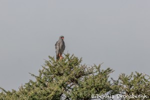 4958 Pale Chanting Goshawk (Melierax canorus), Tanzania