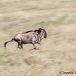 4959 Wildebeest, Serengeti, Tanzania