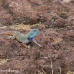 4960 Agama Lizard, Tanzania