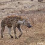 4961 Spotted Hyena, Serengeti, Tanzania