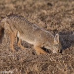 4962 Jackal Foraging for Dinner, Serengeti, Tanzania