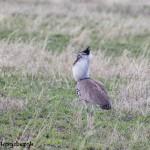 4962 Kori Bustard (Ardeotis kori), Serengeti, Tanzania