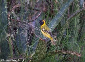 4965 Male Speke's Weaver (Ploceus spekei), Serengeti, Tanzania