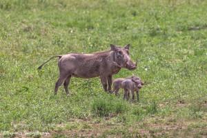 4966 Wart Hog and Piglets, Tanzania