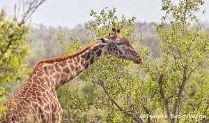 4967 Giraffe, North East Serengeti, Tanzania