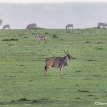 4968 Eland (Taurotragus oryx), Serengeti, Tanzania