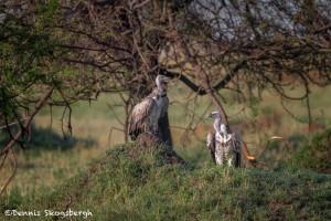 4969 White-backed Vulture (Gyps africanus), Tanzania