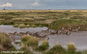 4972 Zebra Crossing, Serengeti, Tanzania
