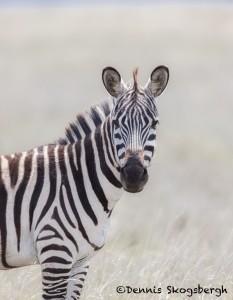 4972 Zebra, Ngorongoro Crater, Tanzania