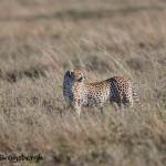 4974 Cheetah, Serengeti, Tanzania