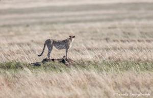 4975 Cheetah, Serengeti, Tanzania